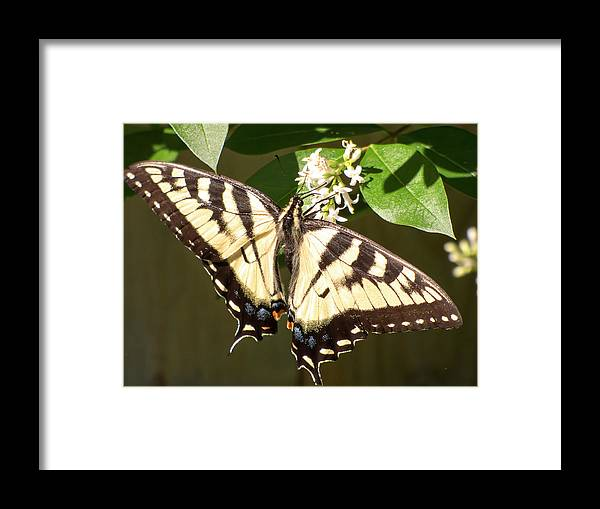 Butterfly Framed Print featuring the photograph Eastern Tiger Swallowtail Butterfly Wingspan by Leslie Montgomery