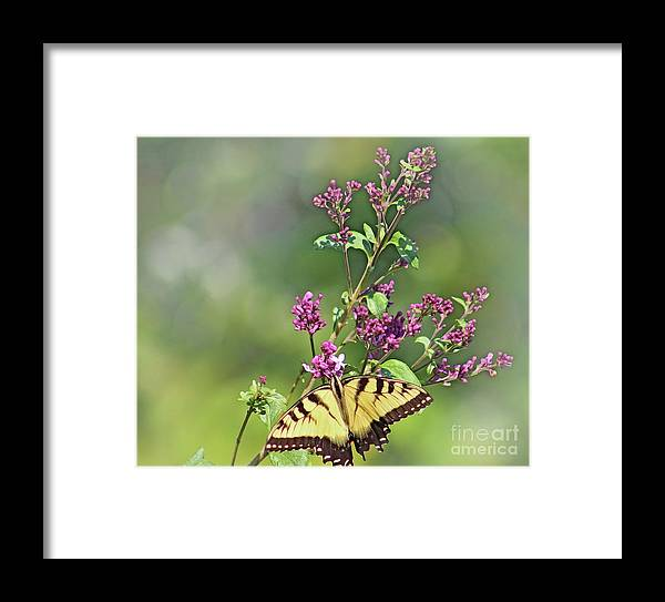 Butterfly Framed Print featuring the photograph Eastern Tiger Swallowtail No. 4 by Jeanne OConnor