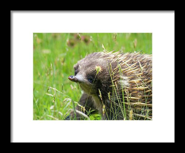 Echidna Framed Print featuring the photograph Echidna by Leeo Photography