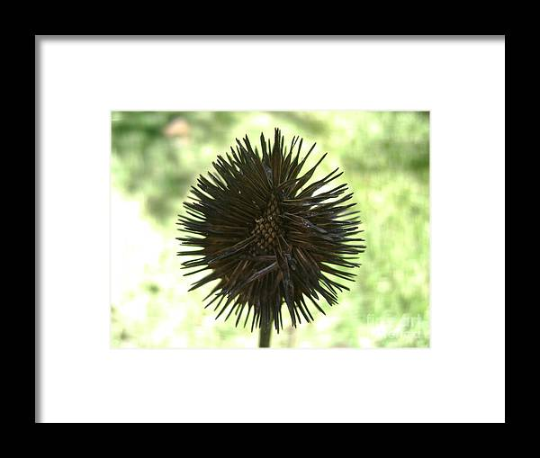 Flower Framed Print featuring the photograph Echinacea by Dj Ewing