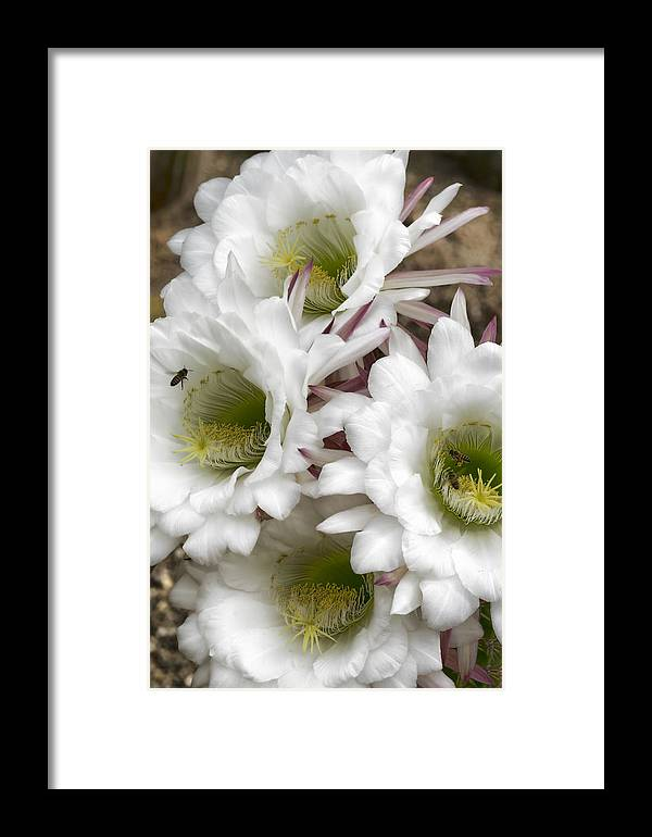 Argentine Giant Framed Print featuring the photograph Echinopsis Blossoms by Saija Lehtonen
