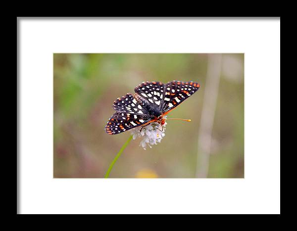 T50yp Framed Print featuring the photograph Edith's Checkerspot Three by Nicholas Miller