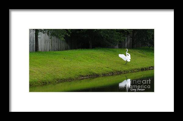 Art For The Wall...patzer Photography Framed Print featuring the photograph Egret Dance by Greg Patzer