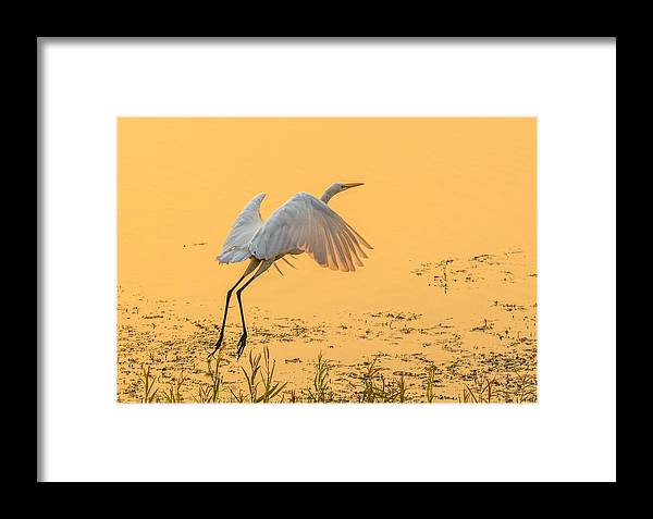 California Framed Print featuring the photograph Egret Take Off 3 by Marc Crumpler