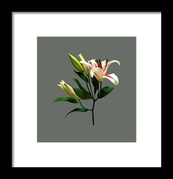 Lily Framed Print featuring the photograph Elegant Lily And Buds by Susan Savad