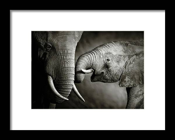Elephant; Interact; Touch; Gently; Trunk; Young; Large; Small; Big; Tusk; Together; Togetherness; Passionate; Affectionate; Behavior; Art; Artistic; Black; White; B&w; Monochrome; Image; African; Animal; Wildlife; Wild; Mammal; Animal; Two; Moody; Outdoor; Nature; Africa; Nobody; Photograph; Addo; National; Park; Loxodonta; Africana; Muddy; Caring; Passion; Affection; Show; Display; Reach Framed Print featuring the photograph Elephant affection by Johan Swanepoel