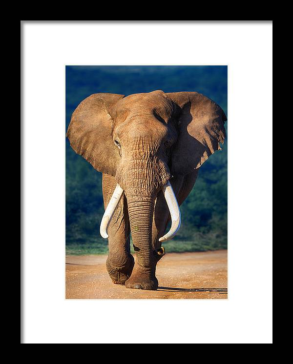 Elephant Framed Print featuring the photograph Elephant approaching by Johan Swanepoel