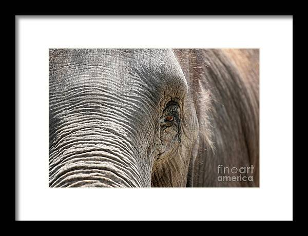 Asian Framed Print featuring the photograph Elephant Eye by Jeannie Burleson