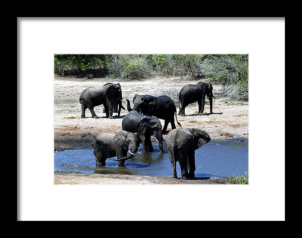 Elephants Framed Print featuring the photograph Elephant Pool by Charles Ridgway