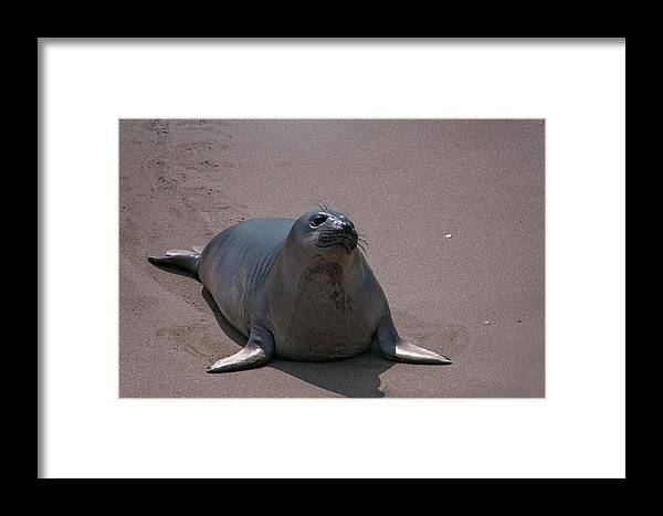 Framed Print featuring the pyrography Elephant Seal San Simeon by Heather Fiedler