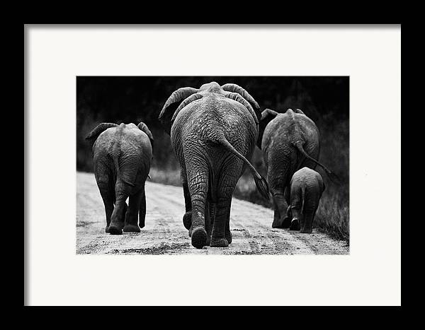 Africa Framed Print featuring the photograph Elephants In Black And White by Johan Elzenga