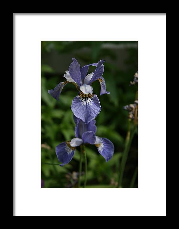 Flowers Framed Print featuring the photograph Elevated Iris by Alan Rutherford