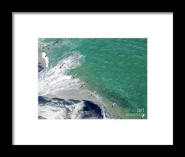 Panama Framed Print featuring the photograph Eleven Brown Pelicans by Camille Pascoe