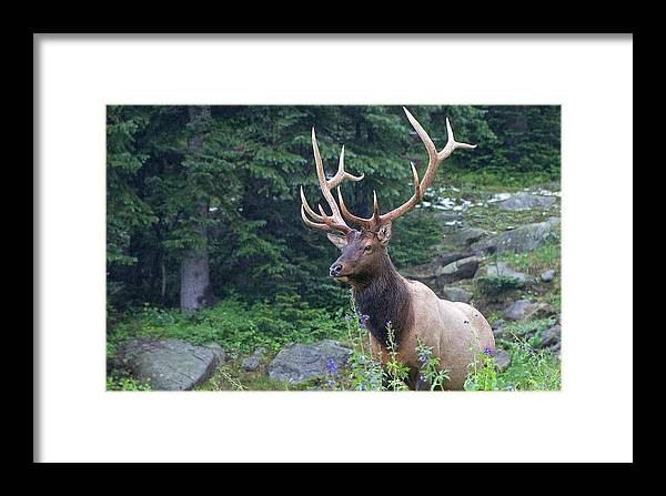 Colorado Framed Print featuring the photograph Elk 4 by Gary Lengyel