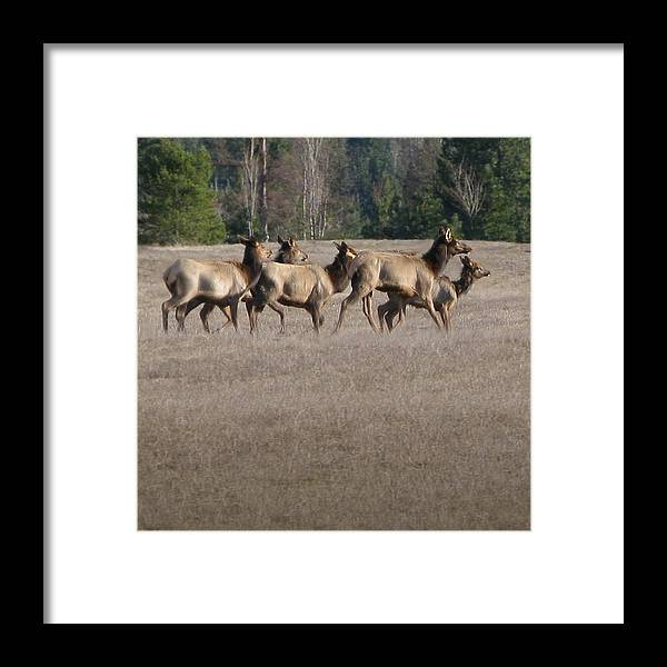 Elk Framed Print featuring the photograph Elk Herd by Robert Bissett