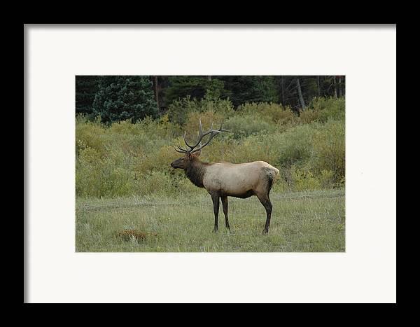 Elk Framed Print featuring the photograph Elk by Kathy Schumann