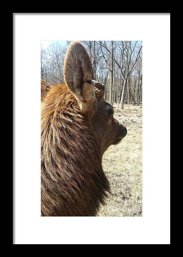 Elk Profile Framed Print featuring the photograph Elk Profile by Jane Butera Borgardt