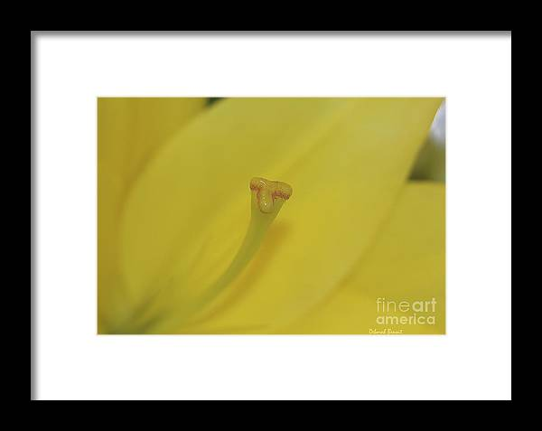 Lilly Framed Print featuring the photograph Elusive Lilly by Deborah Benoit