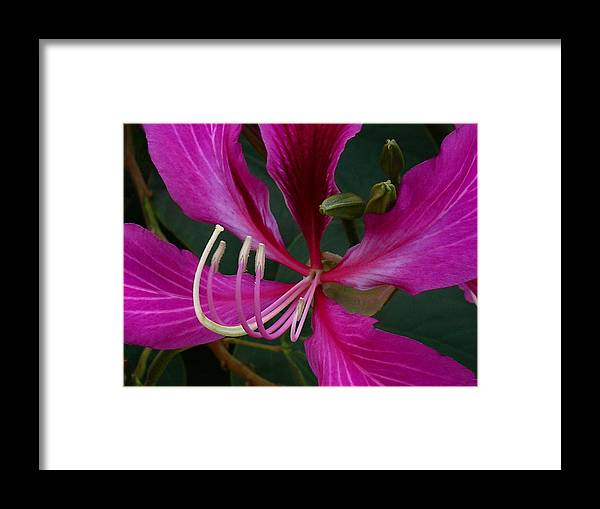 Hong Kong Orchid Tree Framed Print featuring the photograph Embrace by James Temple
