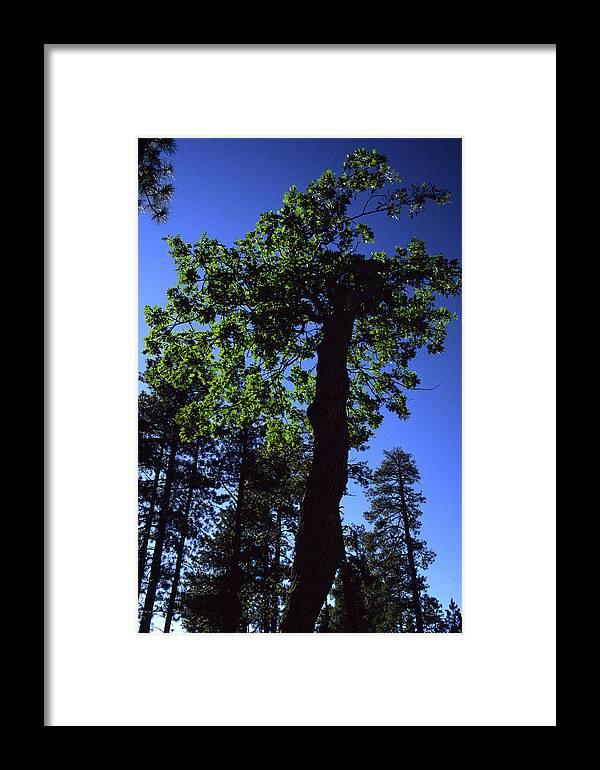 Oak Tree Framed Print featuring the photograph Emerald Oak by Randy Oberg