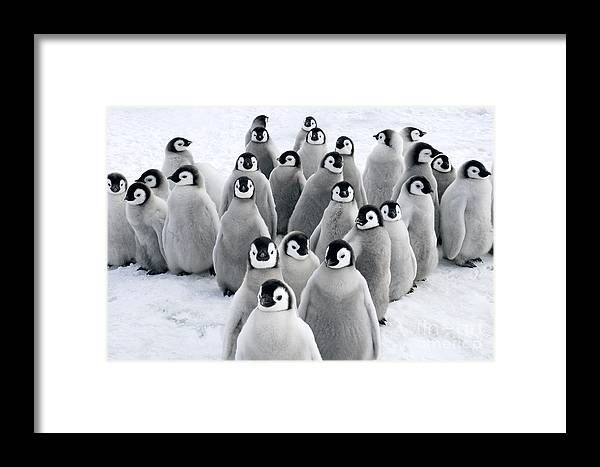 Mp Framed Print featuring the photograph Emperor Penguin Chicks by Jan Vermeer