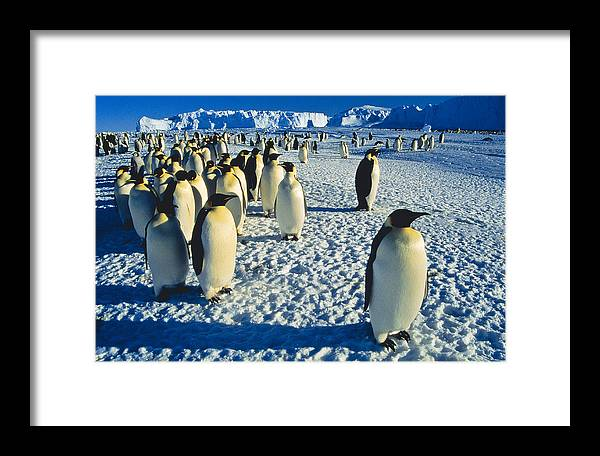 Antarctica Framed Print featuring the photograph Emperors by Andy Townsend