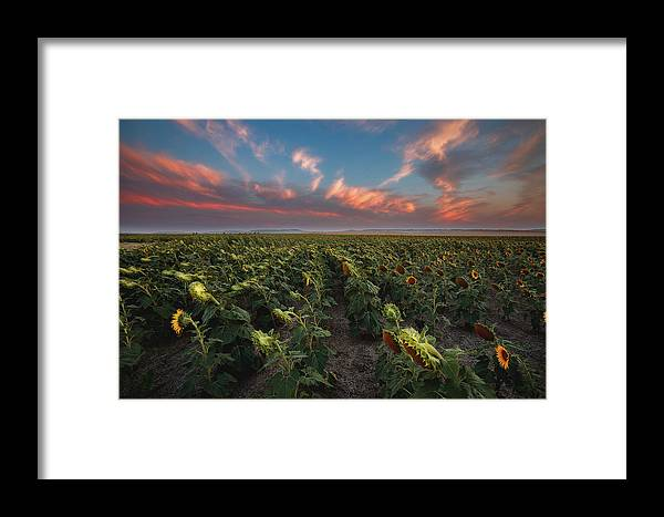 Sunflowers Life Clouds Sunset South Dakota Landscape Farm Framed Print featuring the photograph End Of Life by Cody Lere