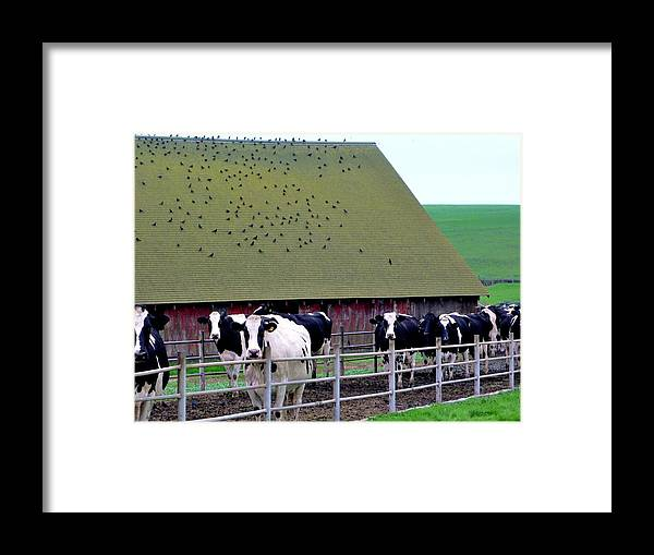 Cows Framed Print featuring the photograph End Of The Day by Francine Gourguechon
