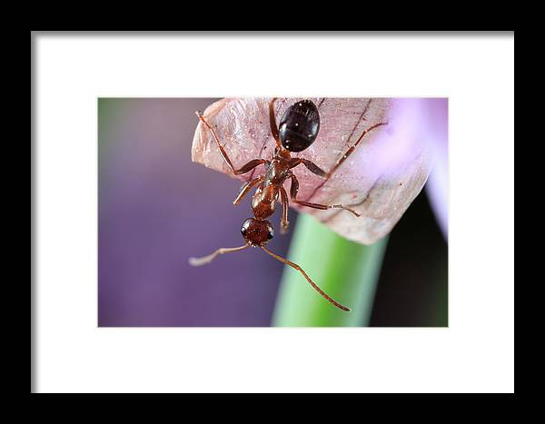 Macro Ant Ants Flower End Of The World Extreme Closeup Close Up Close-up Ma Mass Massachusetts Insect Brian Hale Brianhalephoto Eyes U.s.a. Usa Newengland New England Framed Print featuring the photograph End Of The World by Brian Hale