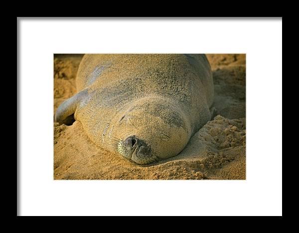 Kauai Hawaiian Islands Poipu South Shore Hawaii Pacific Ocean Monk Seal Beach Coastal Coast Mammal Seal Endangered Hawaii Animals Sand Framed Print featuring the photograph Endangered Monk Seal Takes A Siesta At Poipu Beach. by Larry Geddis