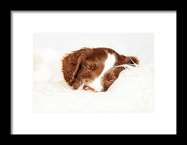 Adorable Framed Print featuring the photograph English Springer Spaniel Puppy Sleeping On Fur by Susan Schmitz