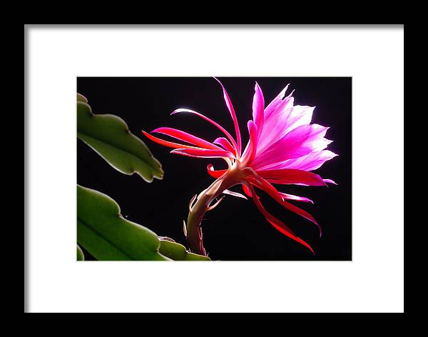 Epiphyllum Framed Print featuring the photograph Epiphyllum by Dung Ma