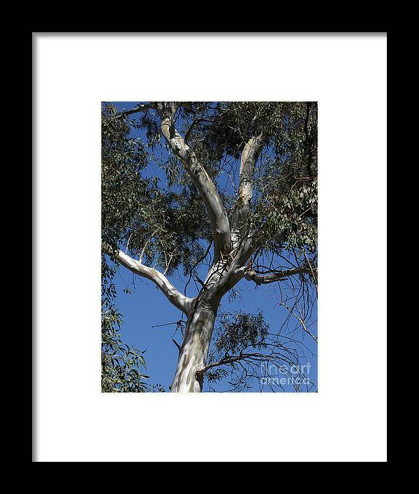 Trees Framed Print featuring the photograph Eucalyptus by Kathy McClure