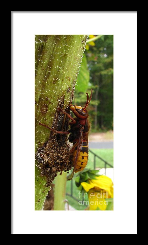 European Hornet Framed Print featuring the photograph European Hornet by Joshua Bales