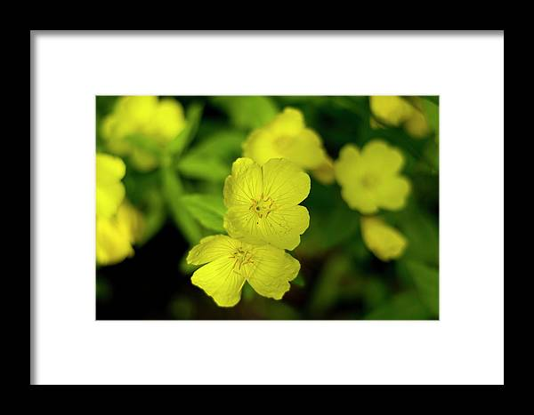 Beautiful Framed Print featuring the photograph Evening Primrose by Bob Corson