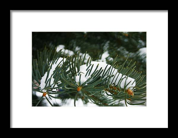 Evergreen Framed Print featuring the photograph Evergreen by Kevin Phipps