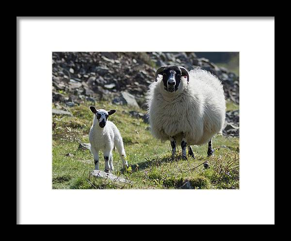 Ewe Framed Print featuring the photograph Ewe And Lamb No2 by John Cox