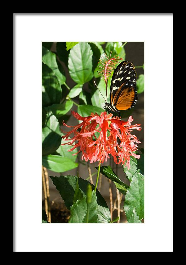 Butterfly Framed Print featuring the photograph Exotic Butterfly On Flower by Douglas Barnett