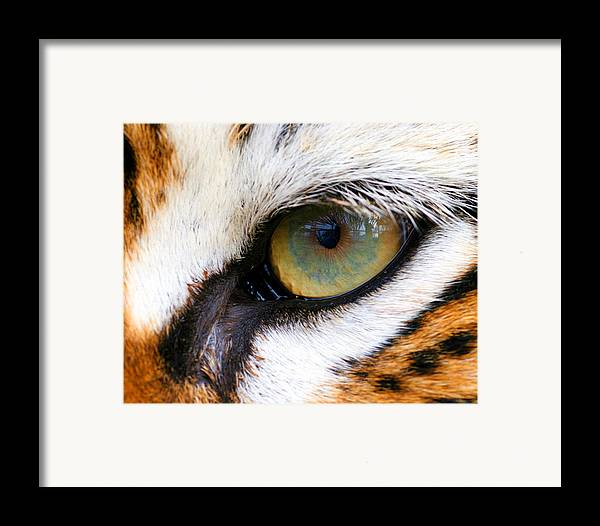 Tiger Framed Print featuring the photograph Eye Of The Tiger by Helen Stapleton