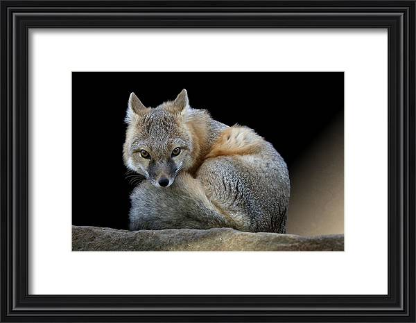 Studio Dalio - Eyes of the Fox Framed Print