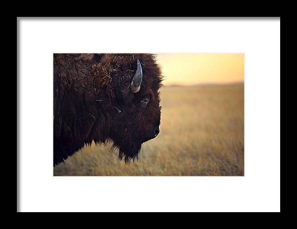 Buffalo Framed Print featuring the photograph Face The Day by Deborah Johnson