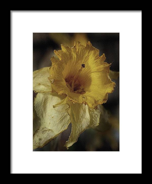Flower Framed Print featuring the photograph Faded Glory by Cathy Dixson