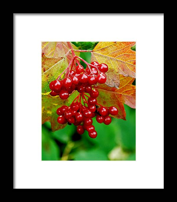 Autumn Framed Print featuring the photograph Fall Berries by Michael Peychich