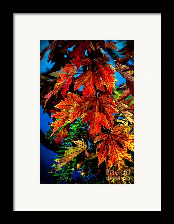 Maple Framed Print featuring the photograph Fall Reds by Robert Bales