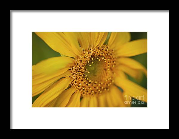 Flower Yellow Sun Sunflower Green Spring Fall Pretty Nature Framed Print featuring the pyrography Fall Sunflower Avila, Ca by Heather Fiedler