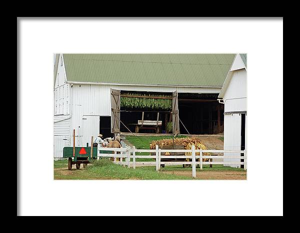 Amish Framed Print featuring the photograph Fall Tobacco Harvest by Joyce Huhra
