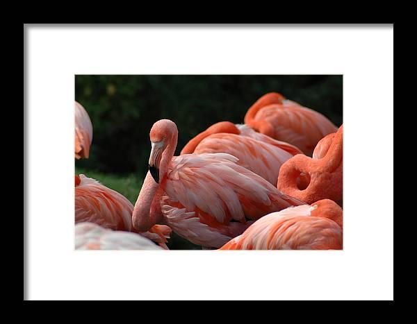 Bird Framed Print featuring the photograph Falmingo 1 by Mark Platt