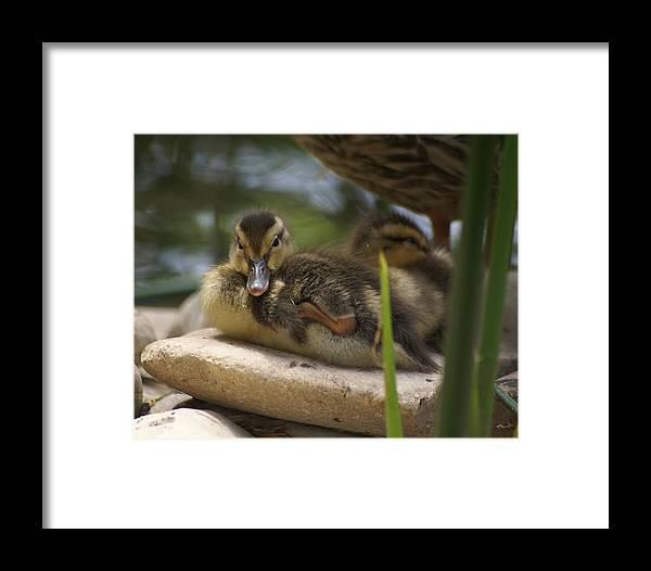 Ducks Framed Print featuring the photograph Family In The Park by Sonja Anderson