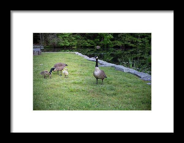 Gosling Framed Print featuring the photograph Family Of Geese by Morgain Bailey