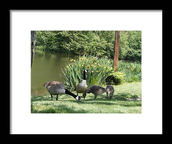 Geese Framed Print featuring the photograph Family Outing Of Geese by Margie Avellino